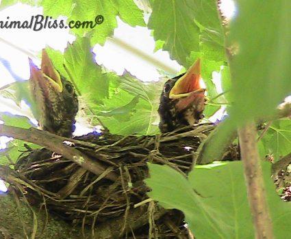 Baby Robins in My Backyard