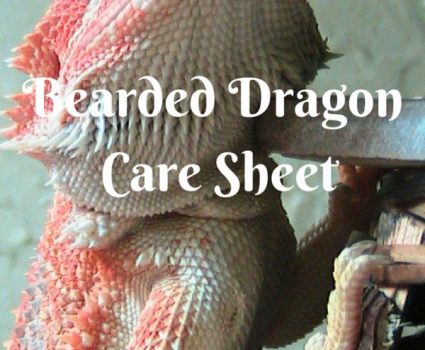 Bearded Dragon Care Sheet: Caring for Your Pet Dragon