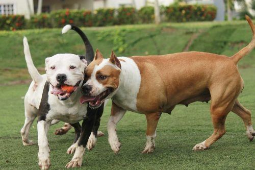 This top tips for pitbull owners guide look at some key issues regarding training, health and general welfare