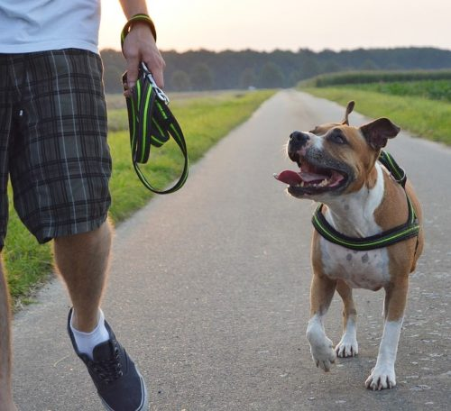This top tips for pitbull owners guide look at some key issues regarding training, health and general welfare of your pup.