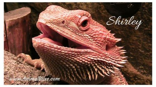 Learn more about proper lizard care in this introduction to bearded dragons