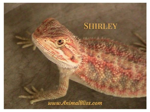 Shirley the Bearded Dragon from Animal Bliss