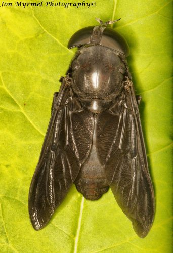 When I opened the back door this morning, a loud buzzing next to my ear proved to be an enormous horse fly, over an inch and a quarter long.
