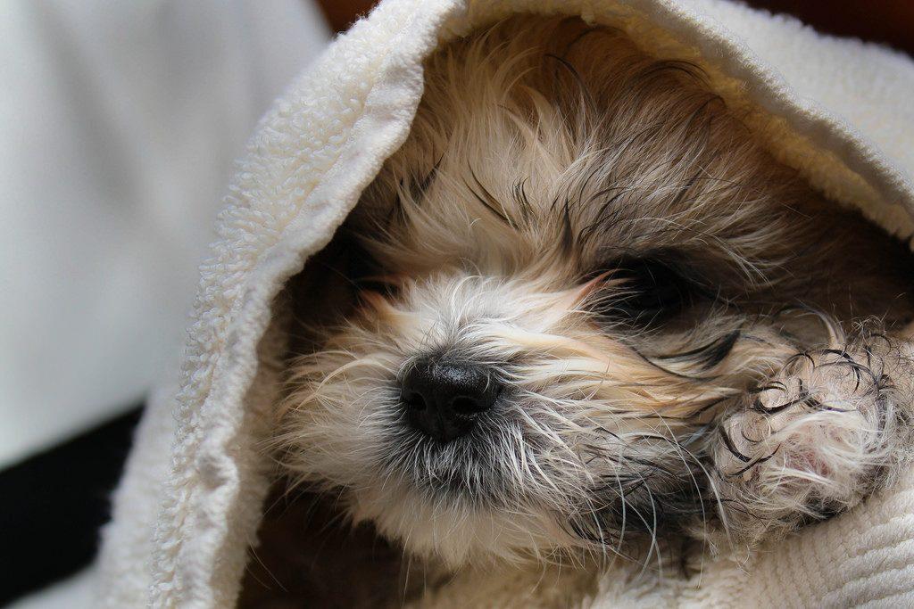 Human Shampoo on Dogs