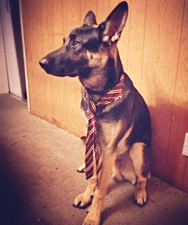 Working German Shepherd Dogs