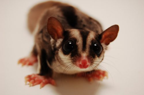 Sugar Glider, GarretTT, Flickr