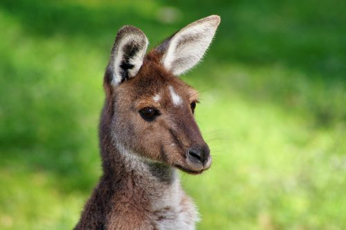 Wallaby, Michael Waters, Unsplash