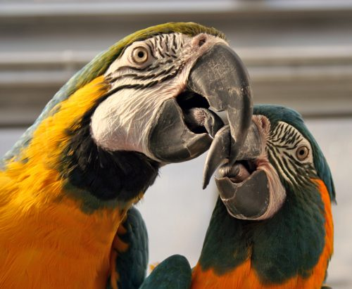 Here is a compiled list of ten things to consider before getting a macaw.