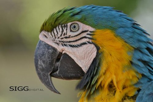 To help you decide if a macaw is the right companion for you, I have compiled a list of ten things to consider before getting a macaw.