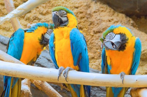 Macaws are colorful, intelligent,Here is a compiled list of ten things to consider before getting a macaw.