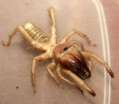 Camel Spider Bite Facts and Information