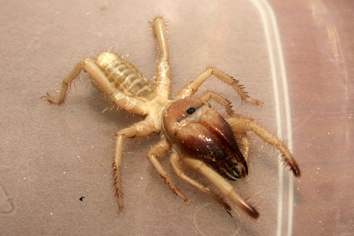 True facts about camel spider bites