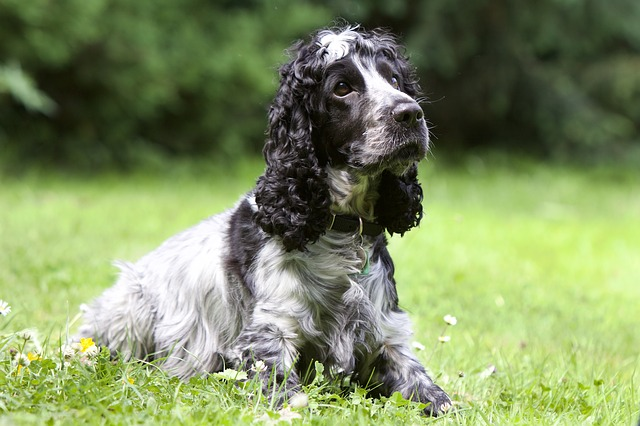 Spaniel Dog Breed: What is a Spaniel?