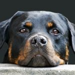 Rottweiler Breed, A Big (Big) Bundle of Love