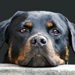 Rottweiler Breed, A Big (Big) Bundle of Love