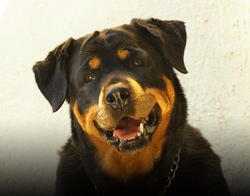 The Rottweiler breed is the 10th most popular breed in the U.S.