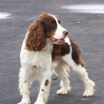Spaniel Dog Breed Explained: What is a Spaniel?