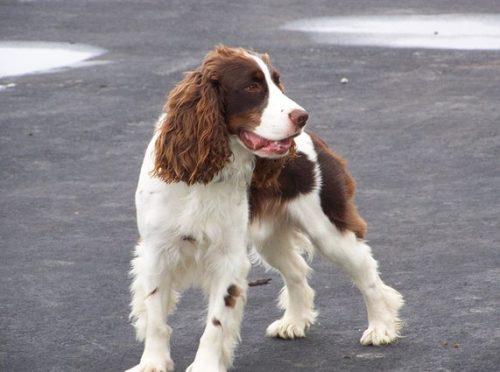 Springer Spaniel Dog Breed Explained