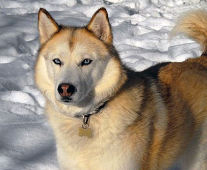 Best Dog Food for Huskies: What to Choose And Why