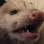 Opossum in my Bathroom : What to do