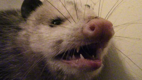 I woke up to find an opossum in my bathroom this morning. Here's what I did.