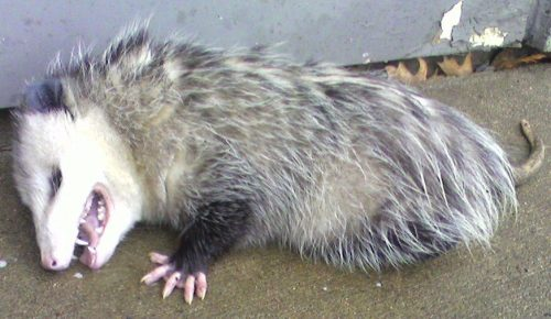 opossum-playing-dead
