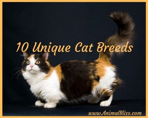 10 Unique Cat Breeds: Most Unusual-Looking Cats