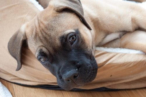 10 Best Dog Breeds for Home Defense