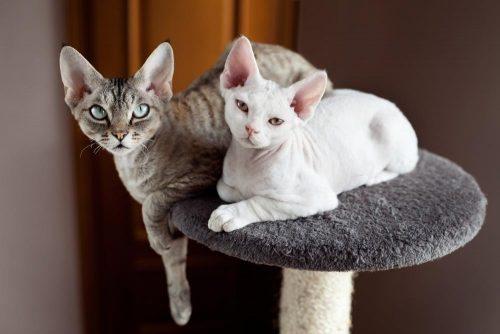10 Unique Cat Breeds Most Unusual Looking Cats Animal