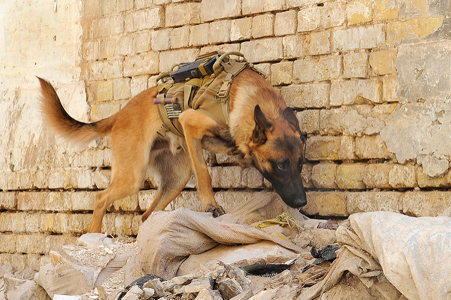 Yes, our Military Dogs are heroes. This info about Military Working Dogs will give you a great appreciation for their hard work and dedication