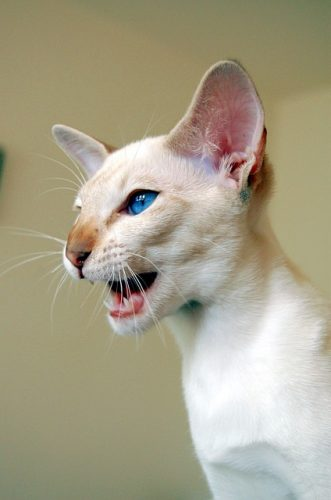 Siamese cat breed traits and personalities make the Siamese cat an excellent choice for a pet
