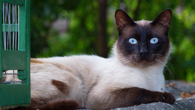 Siamese cat breed traits and personalities make the Siamese cat an excellent choice for a pet.