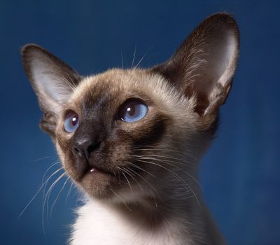 Siamese Cat Breed Traits and Personalities