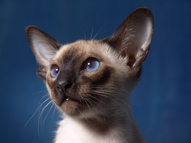 Siamese cat breed traits and personalities make the Siamese cat an exc