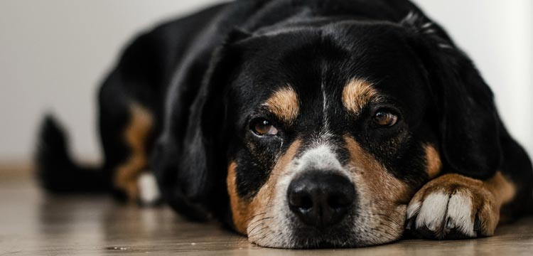 tramadol for dogs overdose