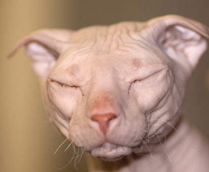 10 Unique Cat Breeds : Most Unusual-Looking Cats