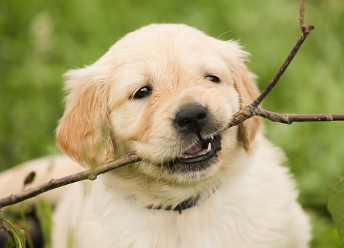 Are Rawhide Dog Treats Safe for Your Dog?