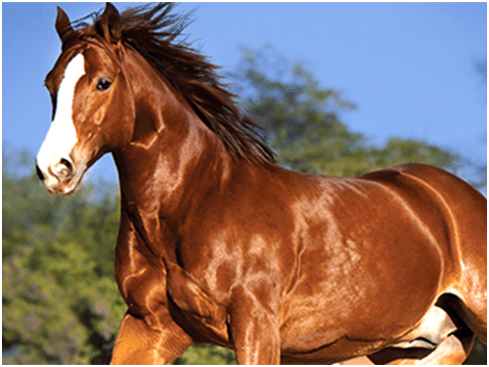 Regular horse grooming is one of the most important activities required to maintain a healthy horse.