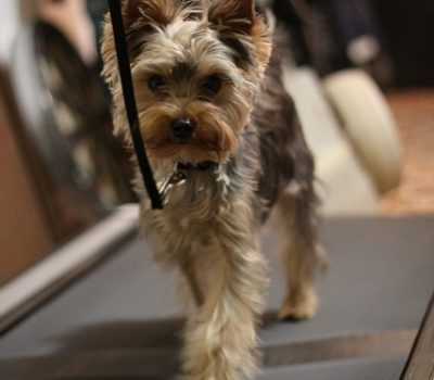 Can Dogs Safely Use a Human Treadmill?