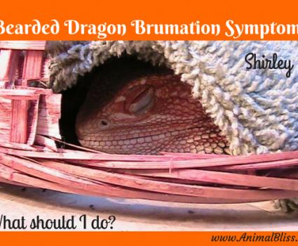 Bearded Dragon Brumation Symptoms, What should I do?