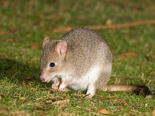 Dwarf Bettongia. 10 Fun Facts About Kangaroos You May Not Know