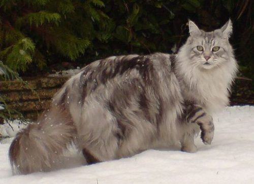 Biggest Cat In The World Guinness 2013 maine coon cats: meet ludo, longest cat in the world | animal bliss