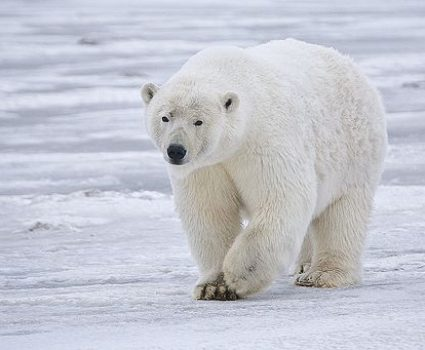 International Polar Bear Day – 36 Amazing Facts About the Polar Bear