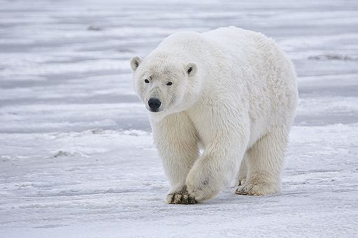 International Polar Bear Day is organized to raise awareness about the impact of global warming.