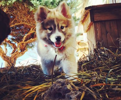 Pomsky Dog Breed – The Cute Cross-Breed that Probably Isn't for You