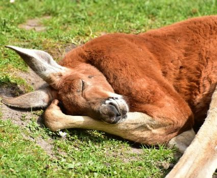 Red Kangaroo - 10 Fun Facts About Kangaroos You May Not Know