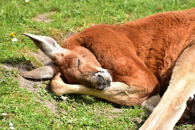 Red Kangaroo - 10 Fun Facts About Kangaroos You May Not Know