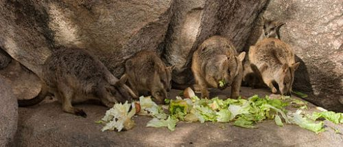 Rock Wallabies feeding on Magnetic Island