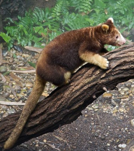 Tree Kangaroo from New Guinea - Bronx Zoo