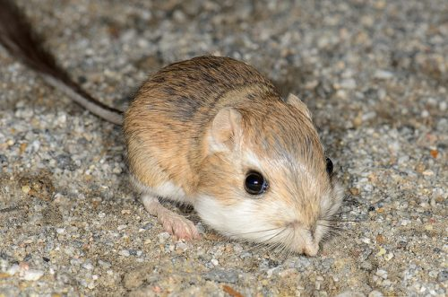Desert Rat Kangaroo. 10 Fun Facts About Kangaroos You May Not Know
